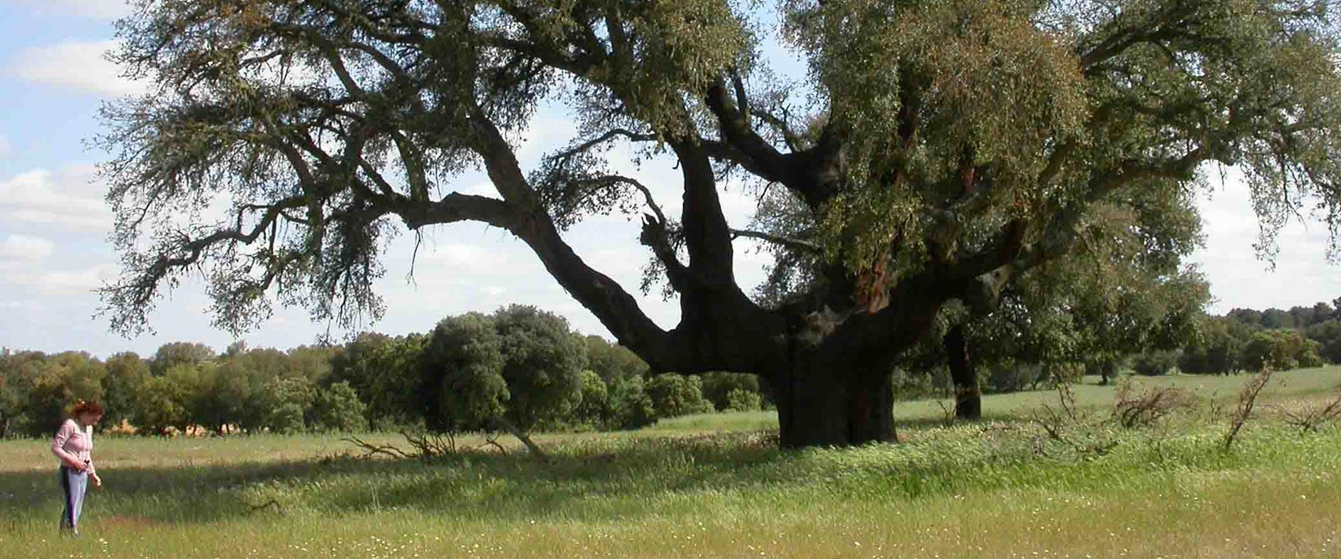 Valdelosa Cork oak Trees