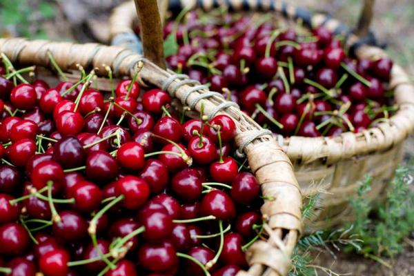 Cherry of Sierra de Francia